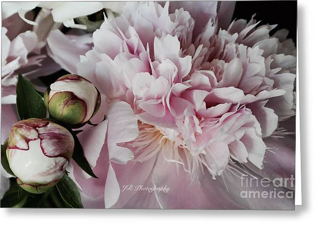Spring Bulbs Greeting Cards - Romantic Pink Peony Greeting Card by Jeannie Rhode Photography