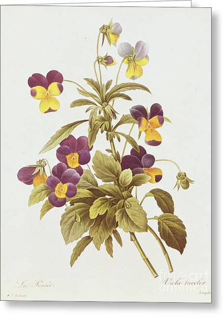 Tricolored Greeting Cards - Viola Tricolour  Greeting Card by Pierre Joseph Redoute