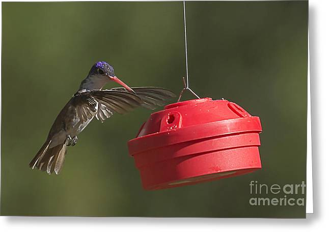 Hovering Greeting Cards - Violet-crowned Hummingbird Greeting Card by Priscilla Burgers