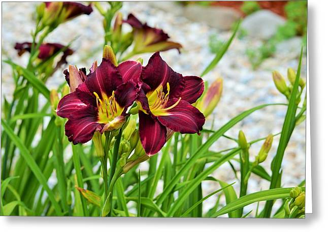 Day Lilly Greeting Cards - Violet Day Lily Greeting Card by Lena Hatch