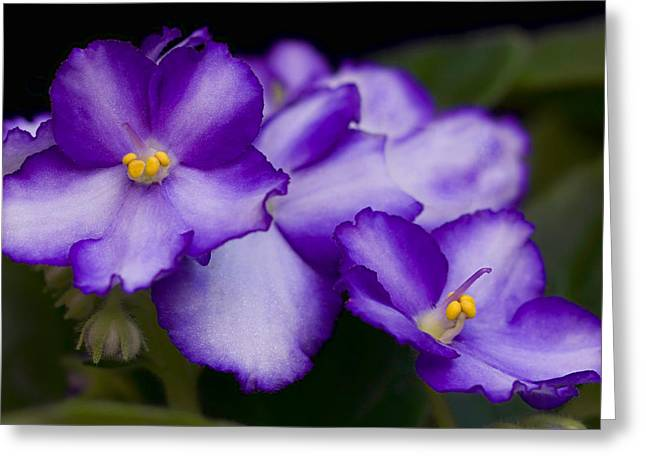 African Violets Greeting Cards - Violet Dreams Greeting Card by William Jobes