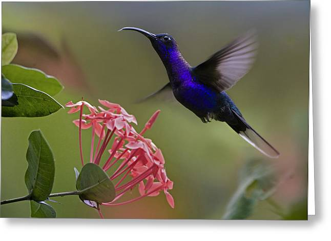 Animal Behaviour Greeting Cards - Violet Sabre Wing Male Hummingbird Greeting Card by Tim Fitzharris