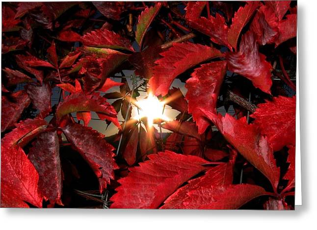Decorative. Country Greeting Cards - Virginia Creeper Sunburst 2 Greeting Card by Will Borden