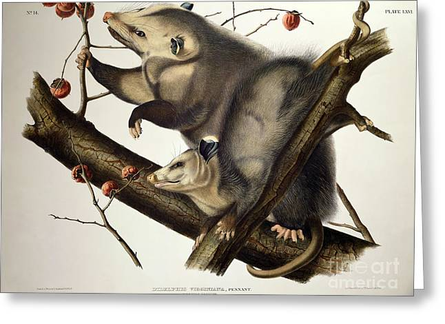 America Drawings Greeting Cards - Virginian Opossum Greeting Card by John James Audubon