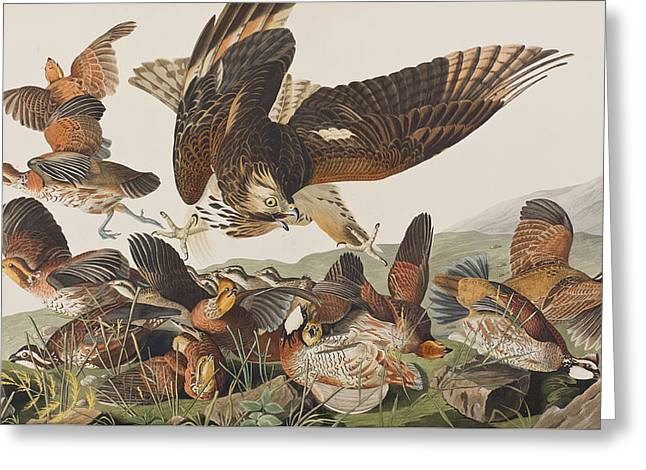Flying Bird Drawings Greeting Cards - Virginian Partridge Greeting Card by John James Audubon