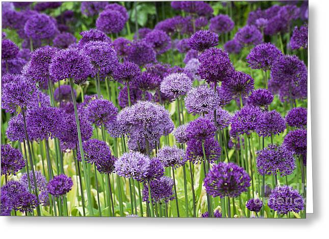 Allium Hollandicum Greeting Cards - Visions in Purple Greeting Card by Tim Gainey