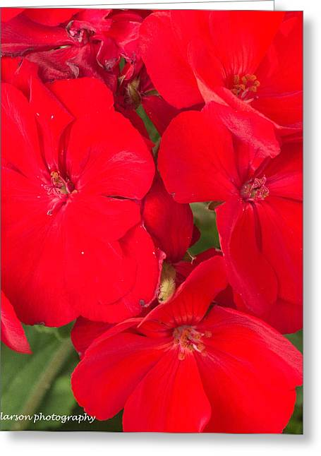 Red Geraniums Greeting Cards - Vivid Red Greeting Card by Nance Larson