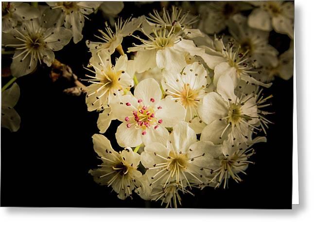 Vivid Wild Plum Blooms 5536.02 Greeting Card by M K  Miller