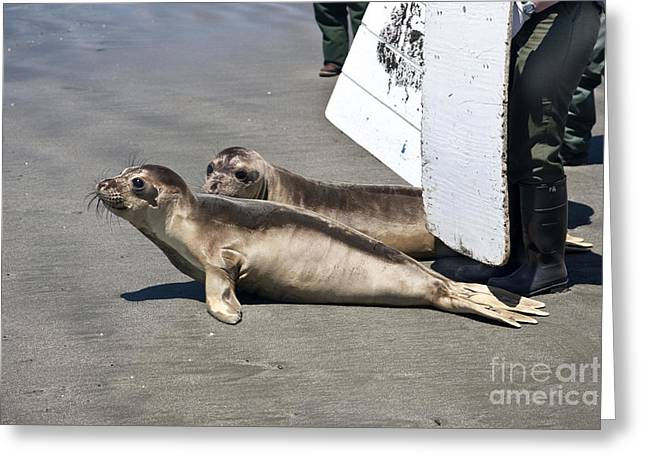 Elephant Seals Greeting Cards - Volunteers Releasing Elephant Seals Greeting Card by Inga Spence