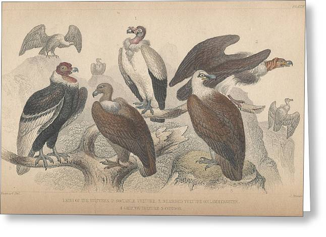 Condor Greeting Cards - Vultures Greeting Card by Oliver Goldsmith