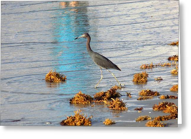 Beach Photography Greeting Cards - Wading Heron Greeting Card by William Tasker