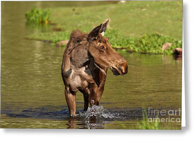 Moose In Water Greeting Cards - Wading In Maroon Lake Greeting Card by Adam Jewell