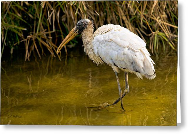 Christopher Holmes Greeting Cards - Wading Wood Stork Greeting Card by Christopher Holmes