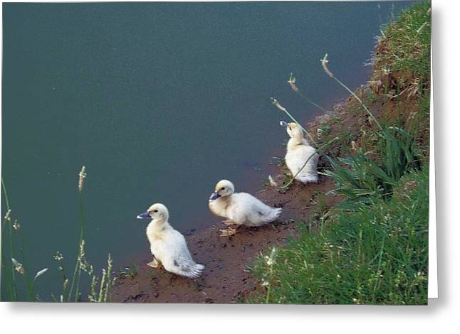 Water Fowl Greeting Cards - Waiting for Mama Greeting Card by Janet Pugh