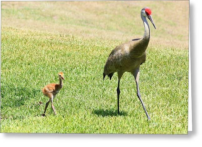 Sandhill Crane Chicks Greeting Cards - Walk this Way Greeting Card by Carol Groenen