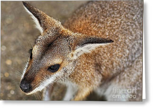 Wallaby Portrait Greeting Card by Kaye Menner