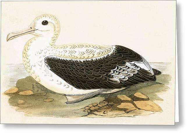 Wandering Albatross Greeting Card by English School