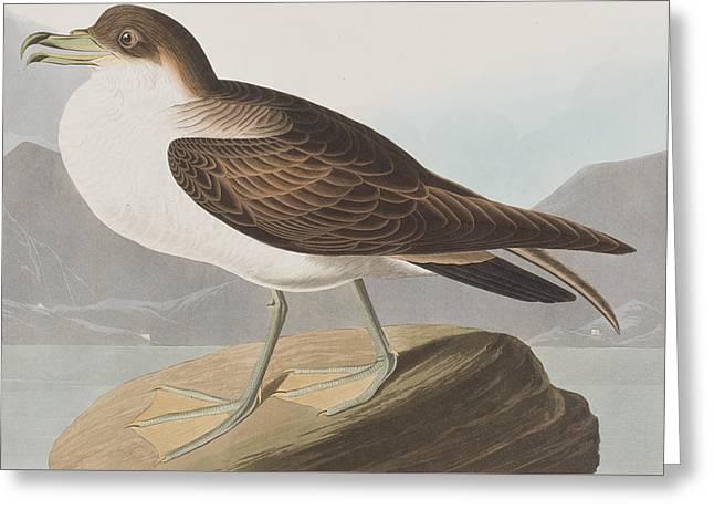 Webbed Feet Greeting Cards - Wandering Shearwater Greeting Card by John James Audubon