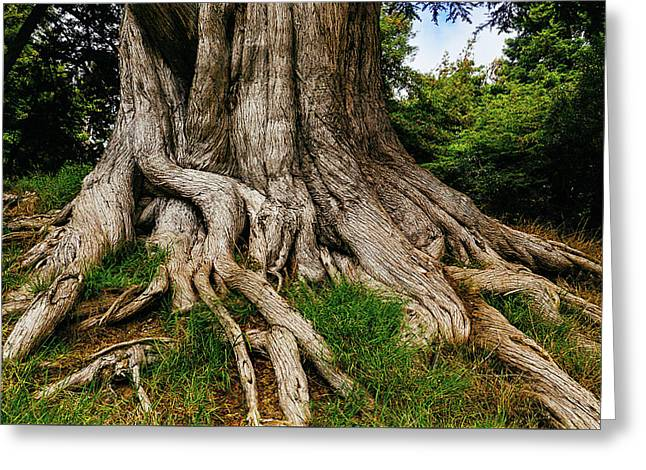 Wandering Tree Roots Greeting Card by Garry Gay