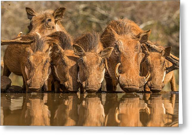 Warthog Family Reunion Greeting Card by Jaco Marx