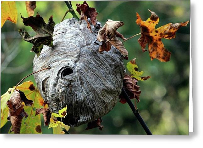 Wasps Greeting Cards - Wasp Nest Greeting Card by Randall Ingalls