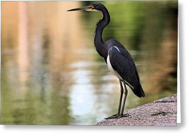 Egretta Tricolor Greeting Cards - Watchful Greeting Card by Kristin Elmquist