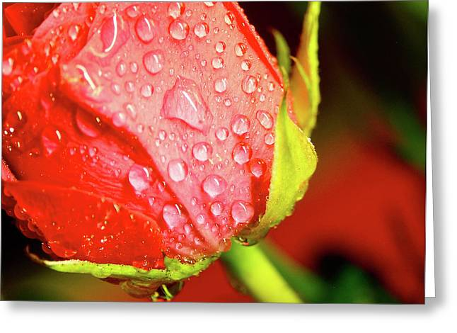 Dripping Rose Greeting Cards - Water Beaded Red Rose Greeting Card by Mark Delfs