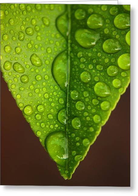 Green Leafs Greeting Cards - Water Droplets on Lemon Leaf Greeting Card by Ralph A  Ledergerber-Photography