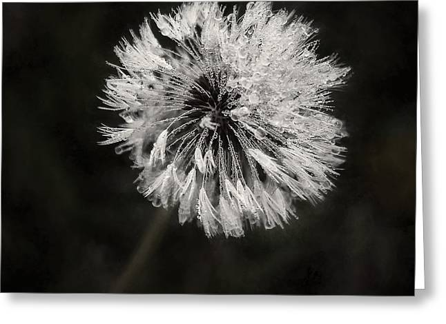 Muted Greeting Cards - Water Drops on Dandelion Flower Greeting Card by Scott Norris