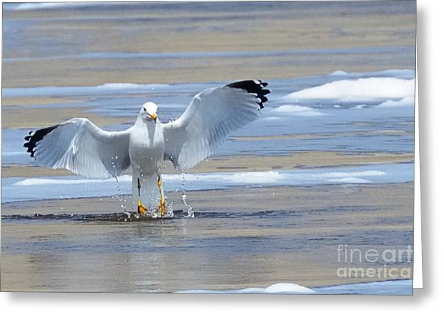 Flying Seagull Greeting Cards - Water Launch 2660 Greeting Card by Ken DePue