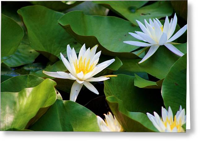 Blalock Greeting Cards - Water Lilies Greeting Card by Dana  Oliver