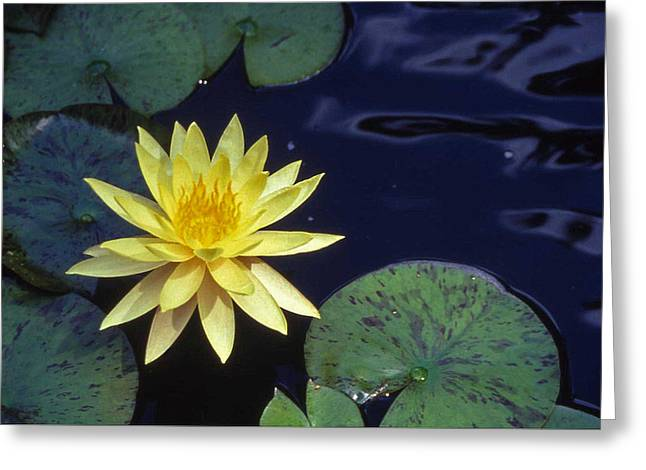 Cheekwood Greeting Cards - Water Lilly - 1 Greeting Card by Randy Muir