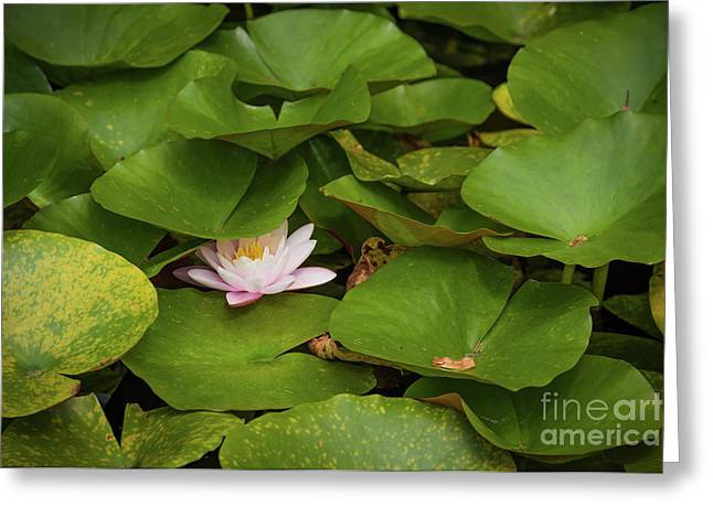 Water Lilly Hiding Greeting Card by Svetlana Sewell