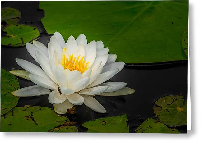 Water Lilly Greeting Cards - Water Lilly Greeting Card by Jerri Moon Cantone