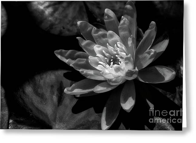 Van Dusen Botanical Garden Greeting Cards - Water Lily 1 Greeting Card by Venetta Archer