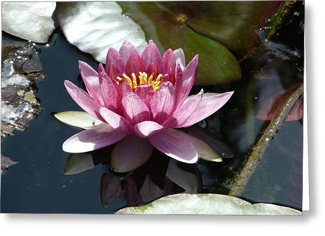 Water Lily 2 Greeting Card by Valerie Ornstein