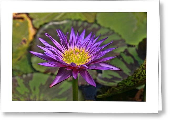 Lilly Pads Greeting Cards - Water Lily 30 Greeting Card by Allen Beatty
