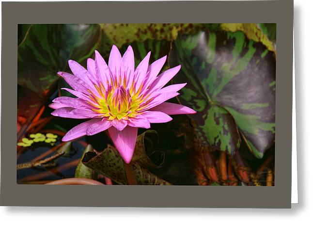 Water Lilly Greeting Cards - Water Lily 32 Greeting Card by Allen Beatty