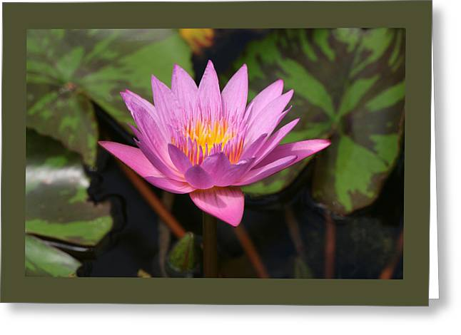 Water Lilly Greeting Cards - Water Lily 37 Greeting Card by Allen Beatty