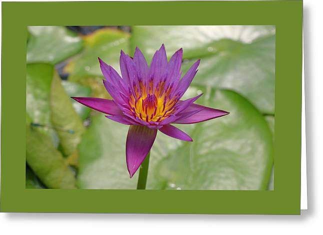 Water Lilly Greeting Cards - Water Lily 38 Greeting Card by Allen Beatty