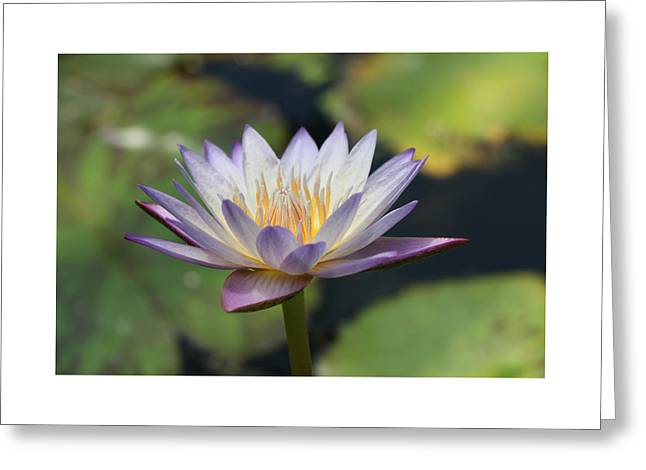 Water Lilly Greeting Cards - Water Lily 40 Greeting Card by Allen Beatty