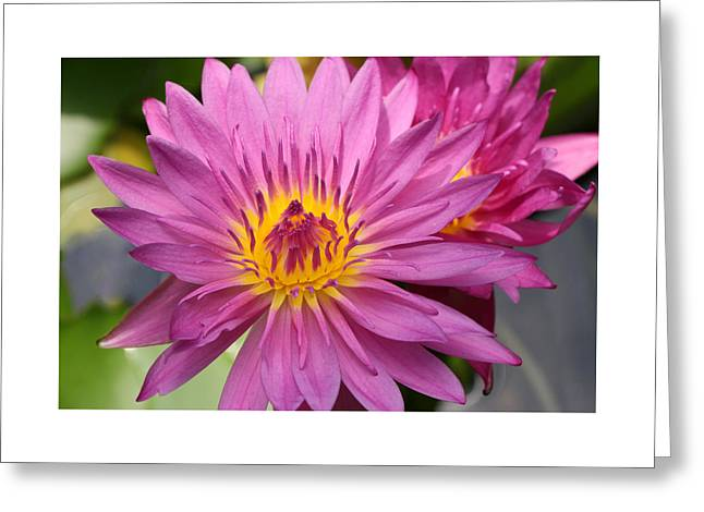 Water Lilly Greeting Cards - Water Lily 42 Greeting Card by Allen Beatty