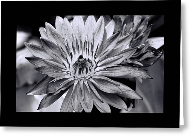 Aquatic Greeting Cards - Water Lily 42 - Black and White Greeting Card by Allen Beatty