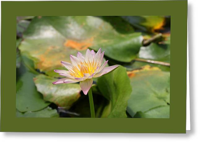 Water Lilly Greeting Cards - Water Lily 43 Greeting Card by Allen Beatty