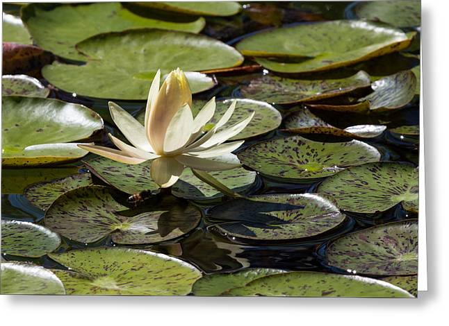 Bee In Flight Greeting Cards - Water Lily and Bee Greeting Card by John Daly