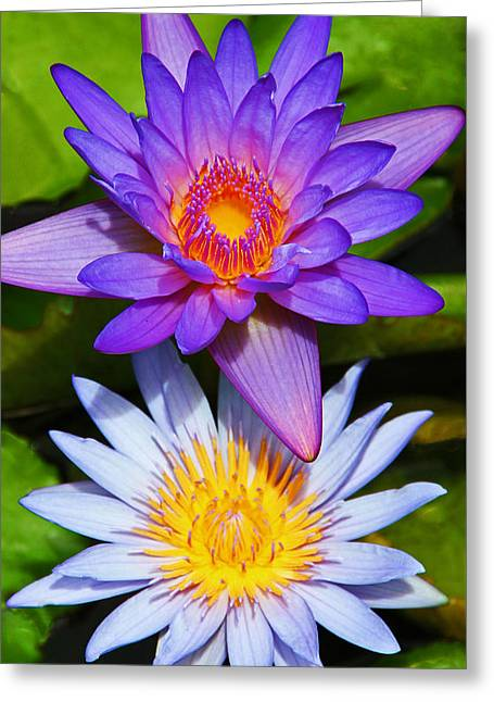 Kerri Ligatich Greeting Cards - Water Lily Blossoms Greeting Card by Kerri Ligatich