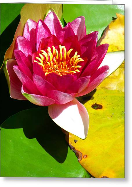 Fort Collins Photographs Greeting Cards - Water Lily FC 2 Greeting Card by Diana Douglass