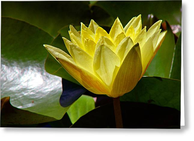 Water Lily FC  Greeting Card by Diana Douglass