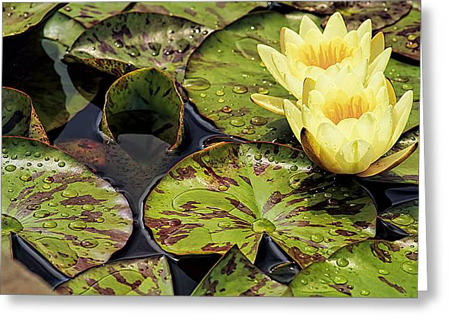 Lotus Blossom Greeting Card by Geraldine Scull