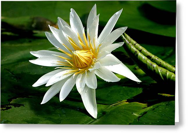 Water Lilly Greeting Cards - Water Lily in White Greeting Card by Jill Black